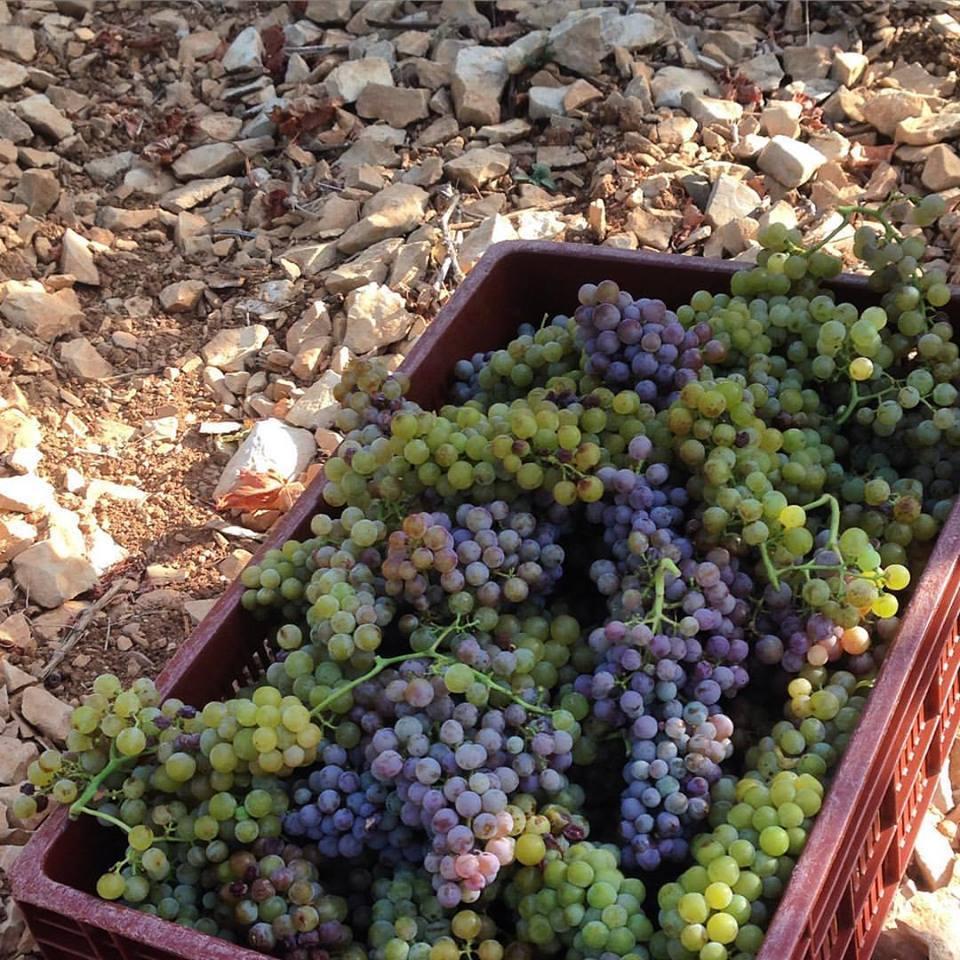 2016-perlage-harvest