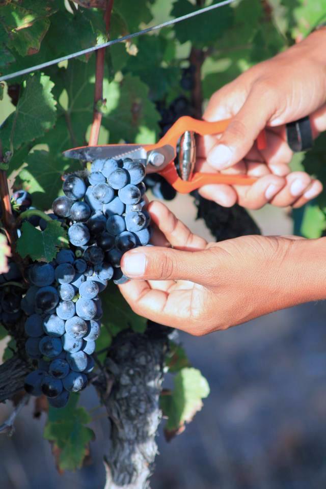 Harvest_Grapes2
