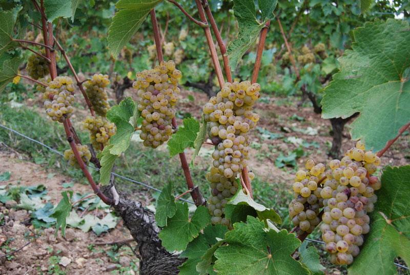 lambert grapes